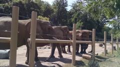 elephants-waiting-for-hay_43488039881_o